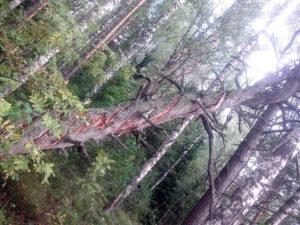 Закрученное дерево