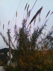 Растущий тростник