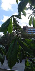 Цветущий каштан в Одинцово