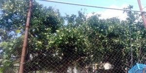 Зелёные мандарины